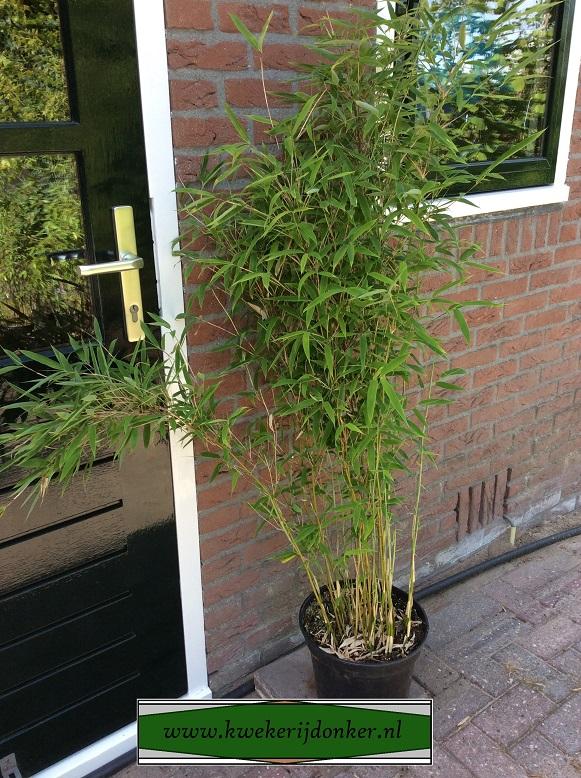 bamboe-joy-fargesia