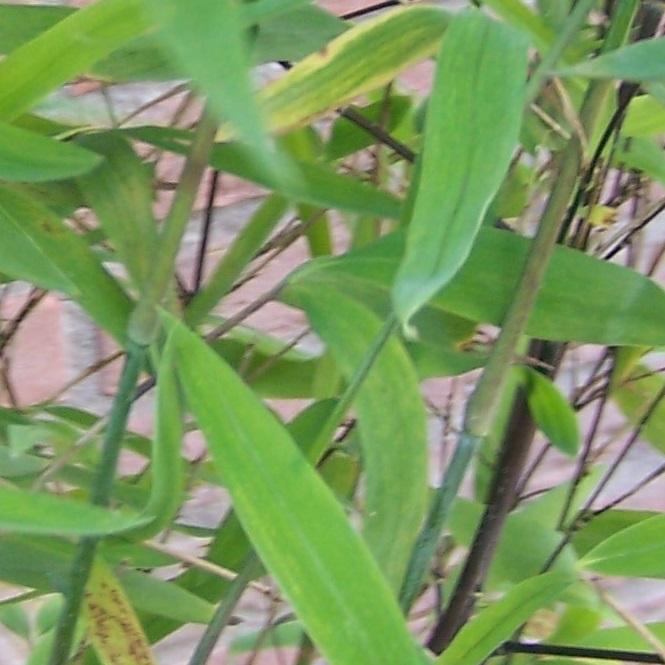Fargesia nitida-trifina-black
