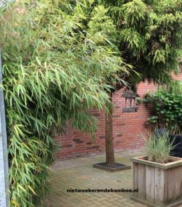 Niet woekerende bamboe in tuin