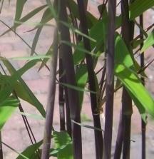fargesia-nitida black pearl