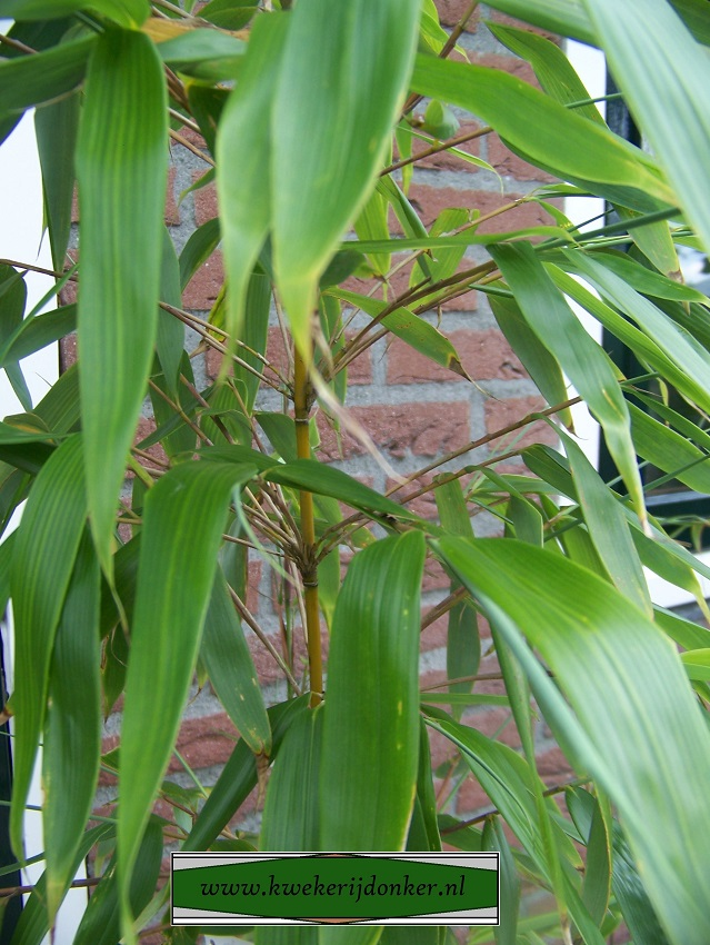 fargesia-robusta-robusta
