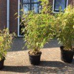 Bamboe in verschillende potmaten