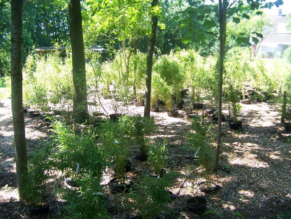 Niet woekerende bamboe kwekerij donker