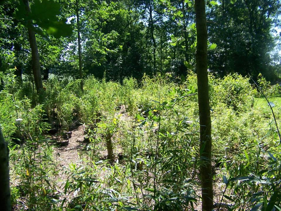 Niet woekerende bamboe kwekerij zon