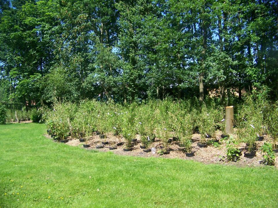 Niet woekerende bamboe veld