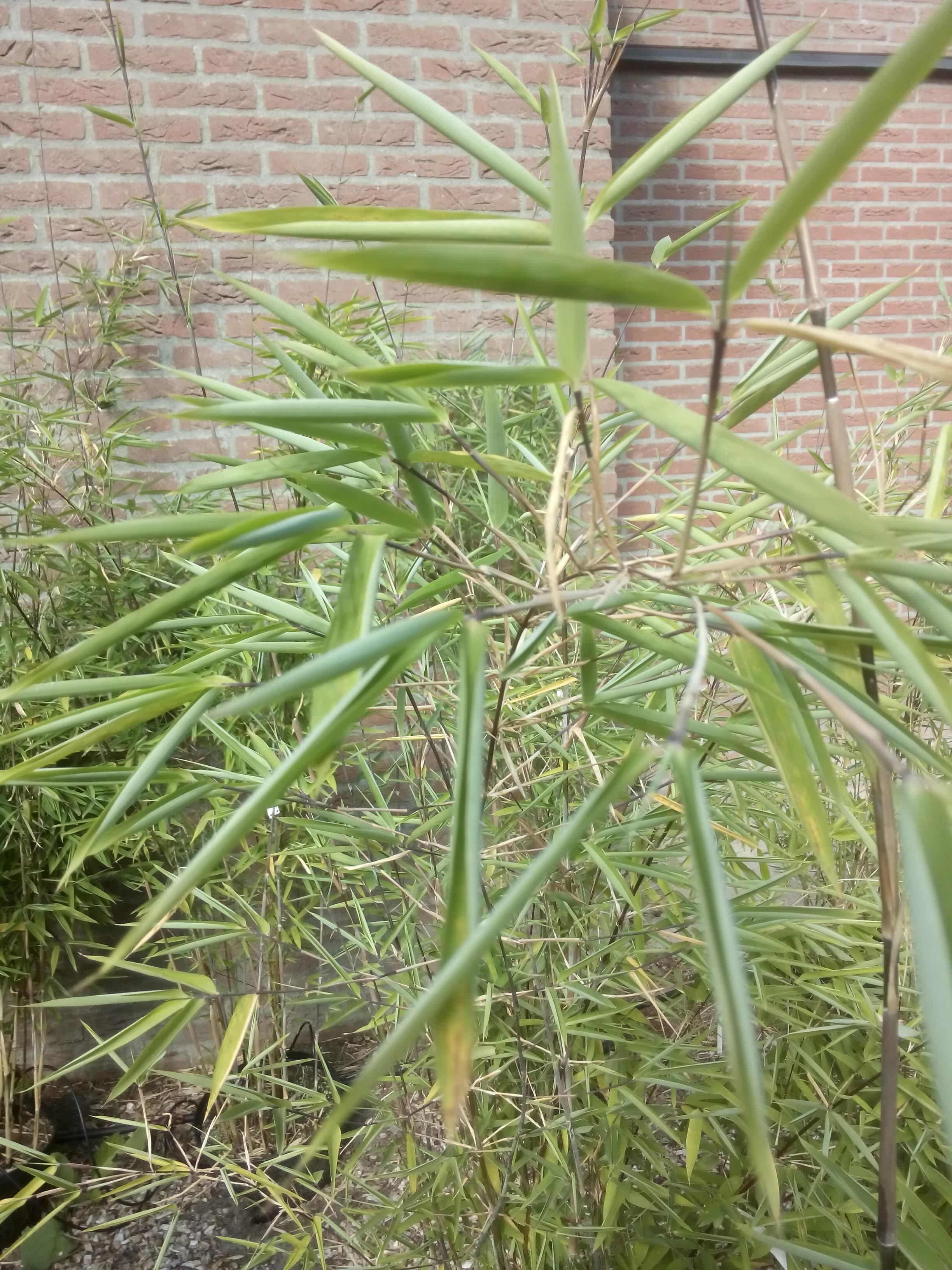 Opgerold blad nitida bamboe