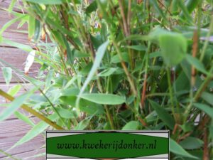 niet woekerende groenblijvende bamboe
