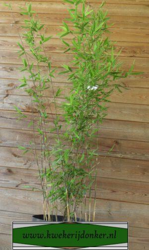 Fargesia-nitida-Herman-Kwekerij-Donker-Plant