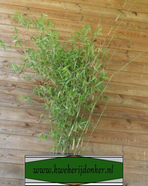 Fargesia-nitida-Viking-Plant